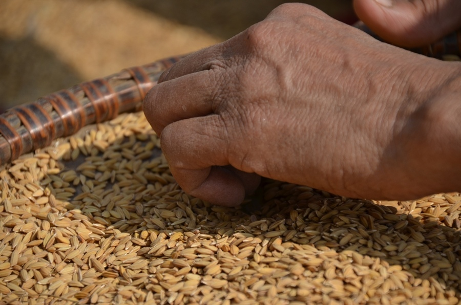Il-raccolto-Nepal-CiaoNamastè